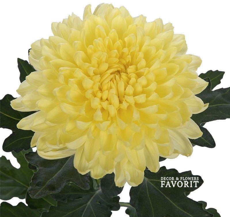 Хризантема одноголовая фото сортов